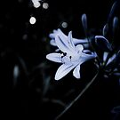 agapanthus by paul erwin