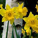 Daffodills, Guys Hill, Victoria. by johnrf