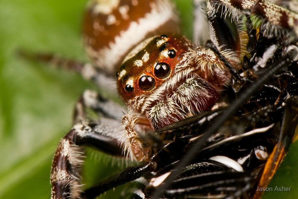 Opisthoncus parcedentatus by Jason Asher