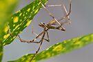 Common Net-casting Spider - Deinopis ravidus by Normf