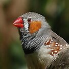 Zebra Finch by Lance Leopold