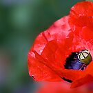Poppy dotty for you  by DIANE  FIFIELD