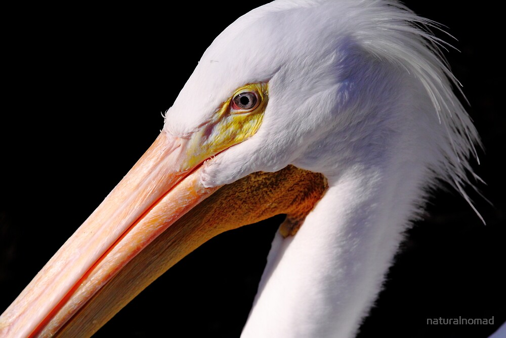 White Pelican Portrait by naturalnomad