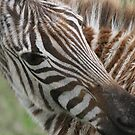 Zebra`s Stripes by John Dalkin