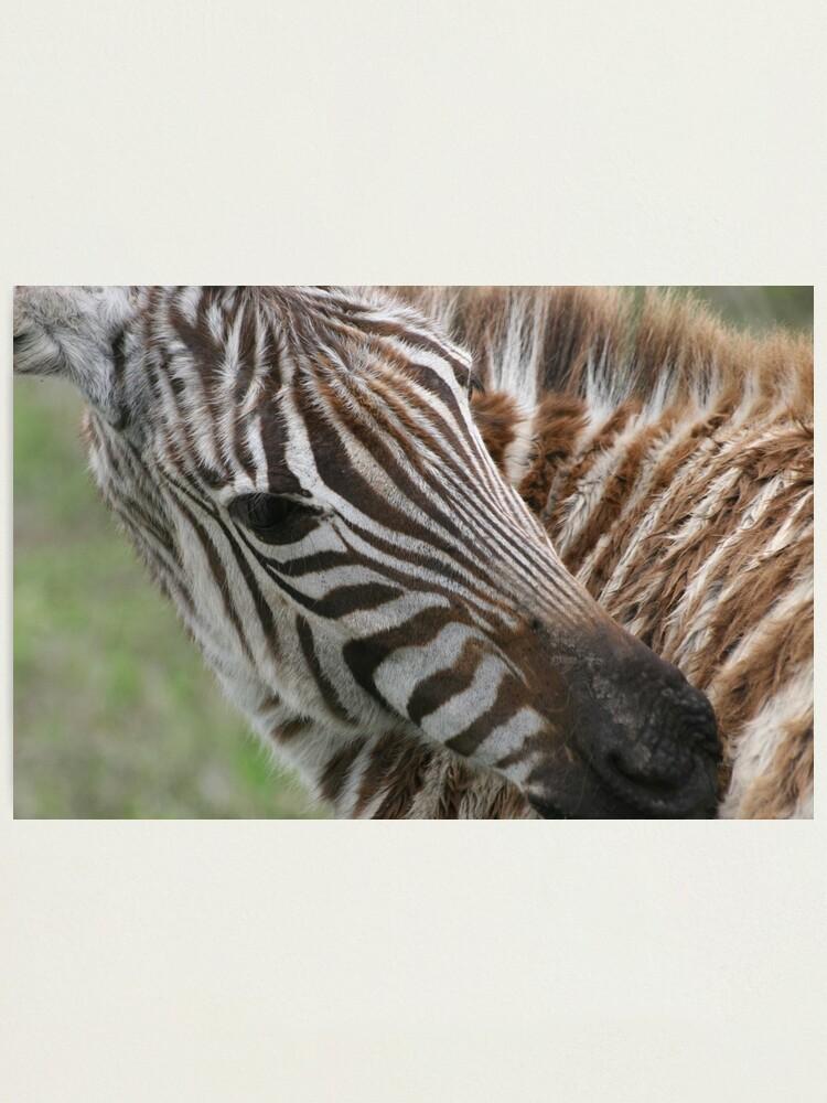 Alternate view of Zebra`s Stripes Photographic Print