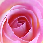 Of pink and gold - opening rose by PenelopeLawry