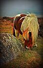 Pony on Dartmoor, Devon, UK by David Carton