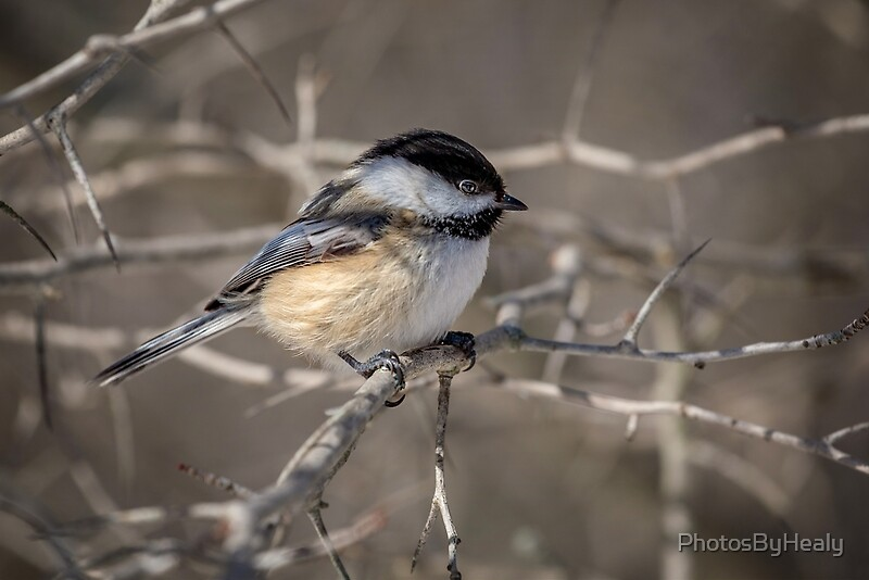 Black-capped Chickadee by Photos by Healy