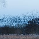 Sussuration of Starlings by kernuak