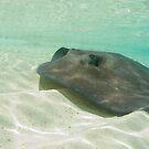 Southern Stingray, Rose Island, Bahamas by Shane Pinder