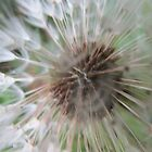 Close up of Dandelion by Abi Latham