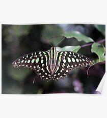 Tailed jay Poster