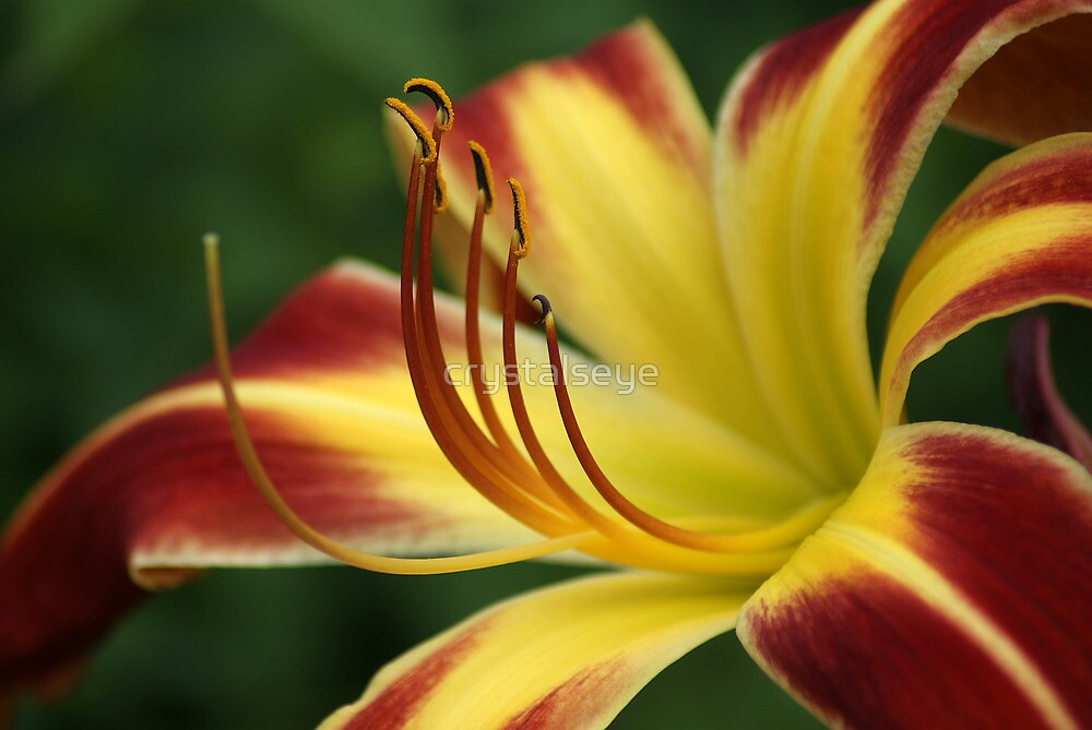 Yellow N Red Lily by crystalseye