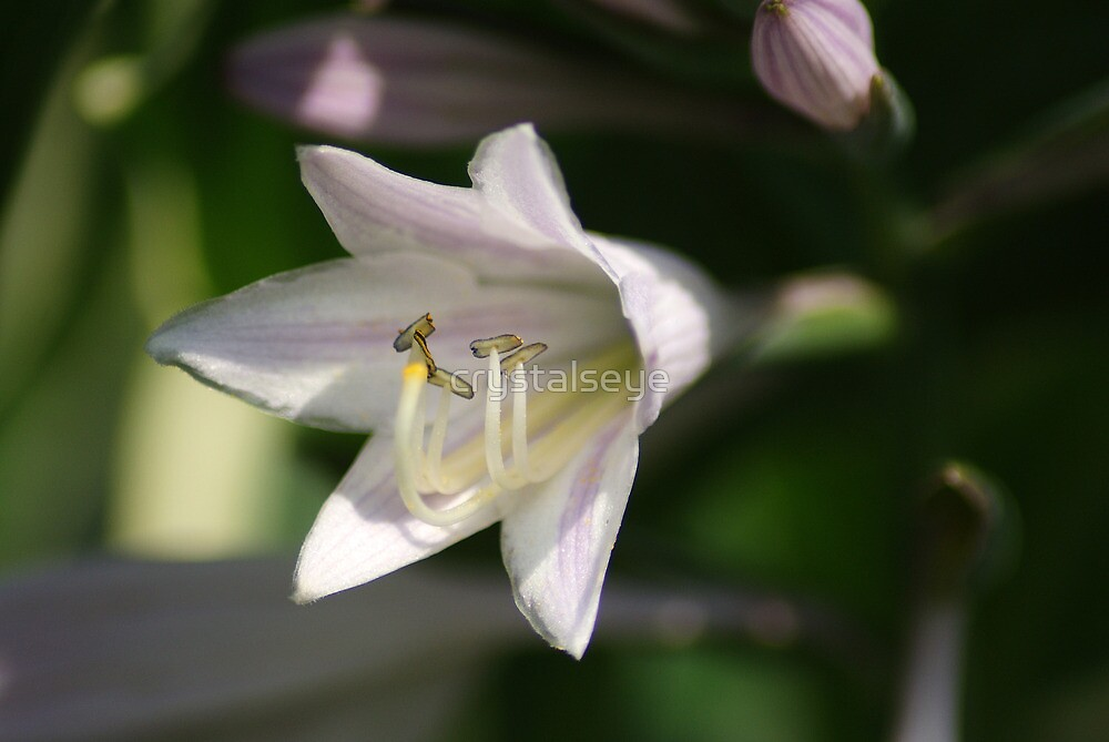 Plantain Lily by crystalseye