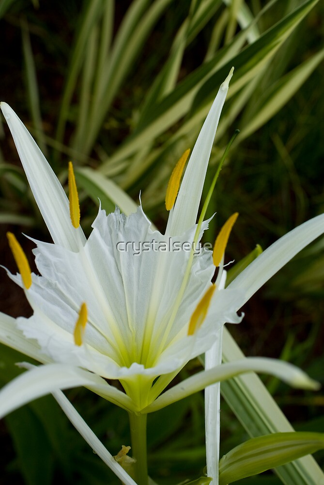 Beach Spider Lily by crystalseye