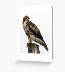 Redtail Greeting Card