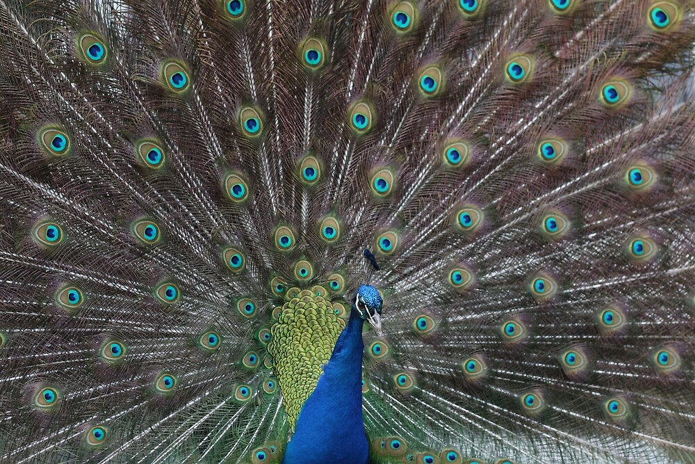Peacock 4 by Pacey