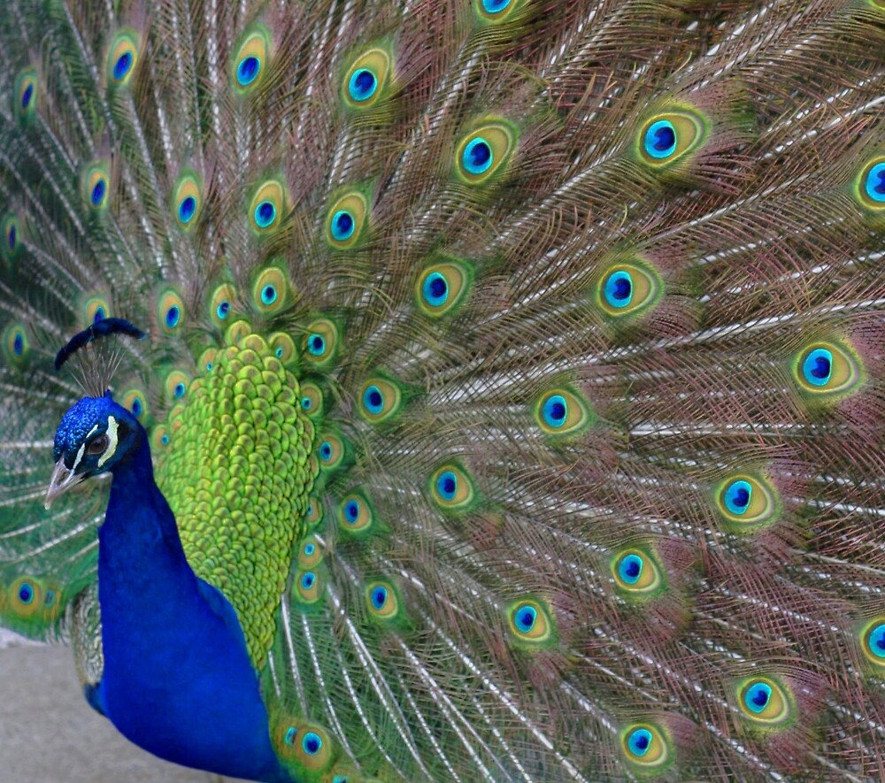 Peacock 5 by Pacey