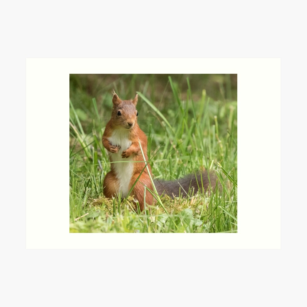 Squirrel in the grass Art Print
