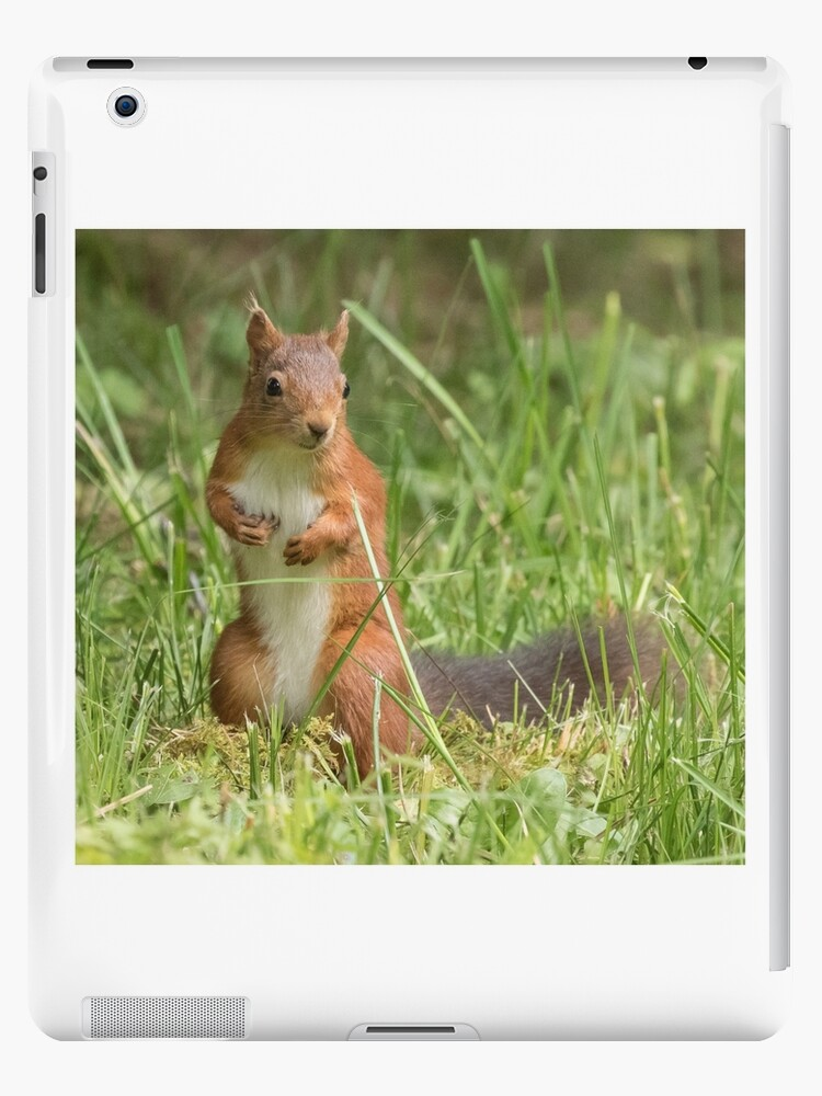 Squirrel in the grass by Anthony Brewer