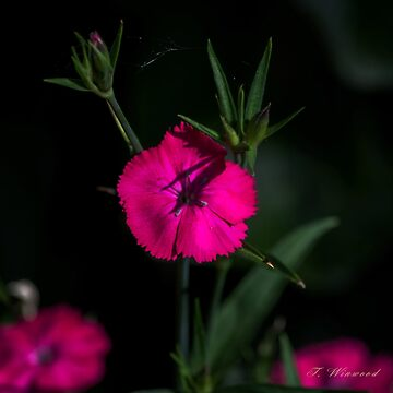 Pretty In Pink by trish1004