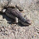 Lizard Coachella Wildlife Preserve by Colleen Cornelius