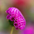 Bright Pink Dahlia by Ellesscee