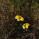 Diuris sp.  Mount Buffalo by Colin12