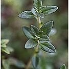 Thyme by Robert Case
