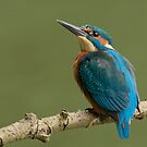 Juvenile male kingfisher by Peter Wiggerman