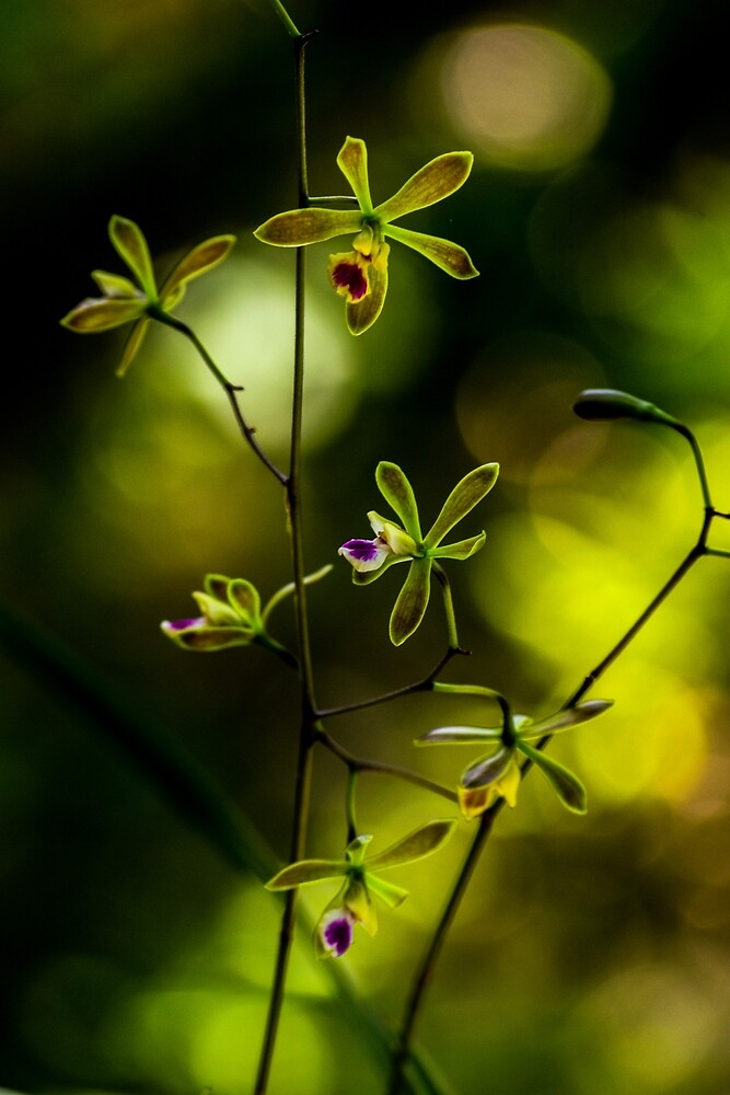 Delicate Orchid by vancer