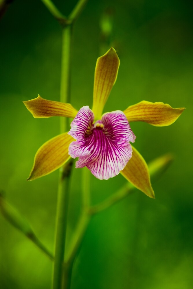 Orchid with yellow leaves by vancer