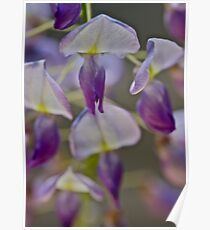 My garden - Wisteria sinensis (Chinese Wisteria) . by Andrzej Goszcz . Favorites: 3 Views: 622 .Thanks !!! Poster