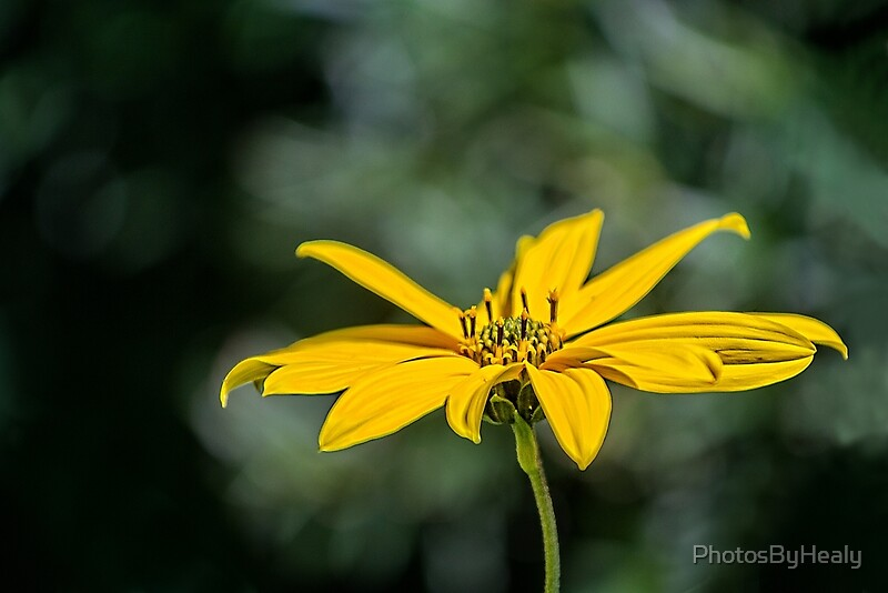 Jerusalem artichoke by Photos by Healy