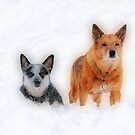 """""""Cattle Dog Companions"""" by Fotography by Felisa ~"""