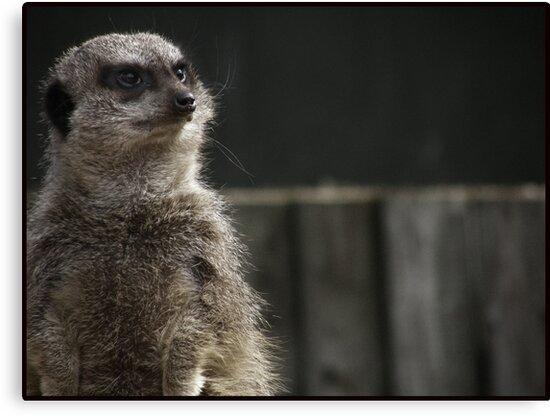 Meerkat by Jennifer Hopkins