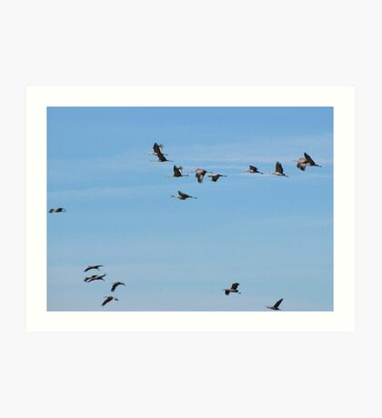 Sandhill Cranes ~ Migratory  Art Print