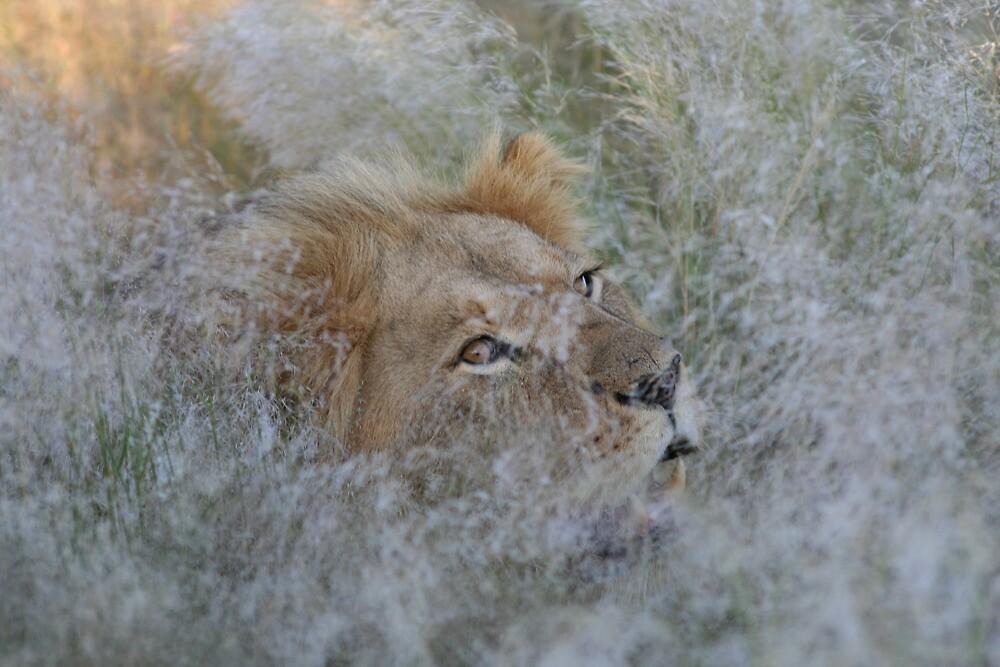Khutse Lion by Donald  Mavor