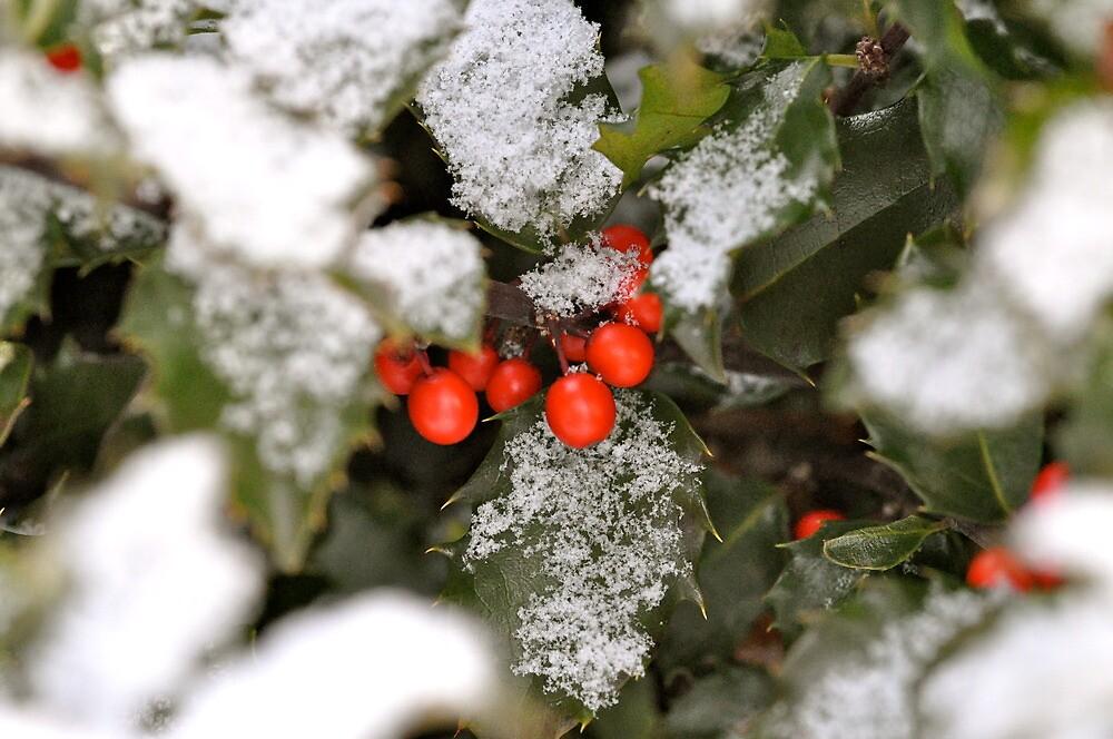 Snow-covered holly by JGilmer