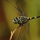 Green and Yellow Dragonfly by Lincoln Stevens