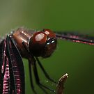 Relaxed Dragonfly by Lincoln Stevens
