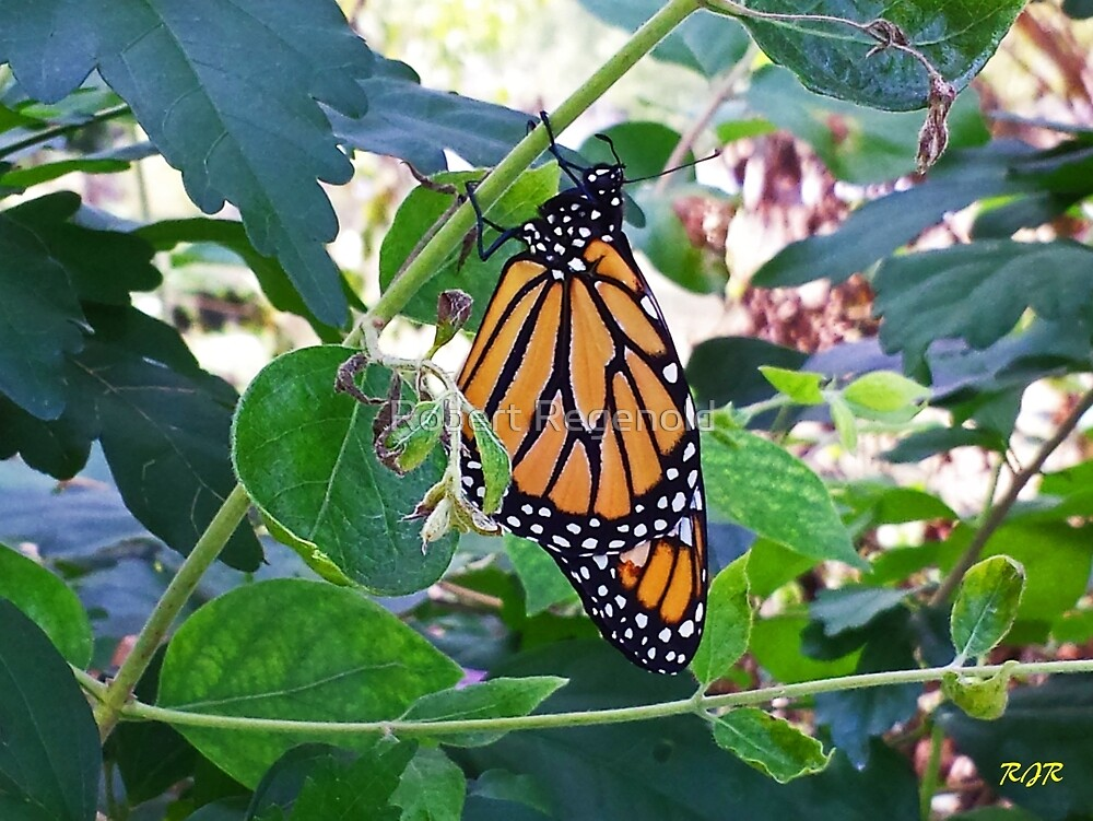 """Monarch"" by Robert Regenold"