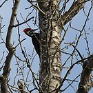 Pileated Woodpecker- Dryocopus pileatus by Tracy Wazny