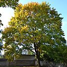 Autumny tree with yellow and green leaves by Lenka Vorackova