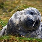 Inquisitive Young Seal Pup by David Lewins