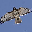 Red Tail Hawk by Dennis Cheeseman