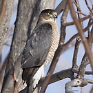 Cooper Hawk by Dennis Cheeseman