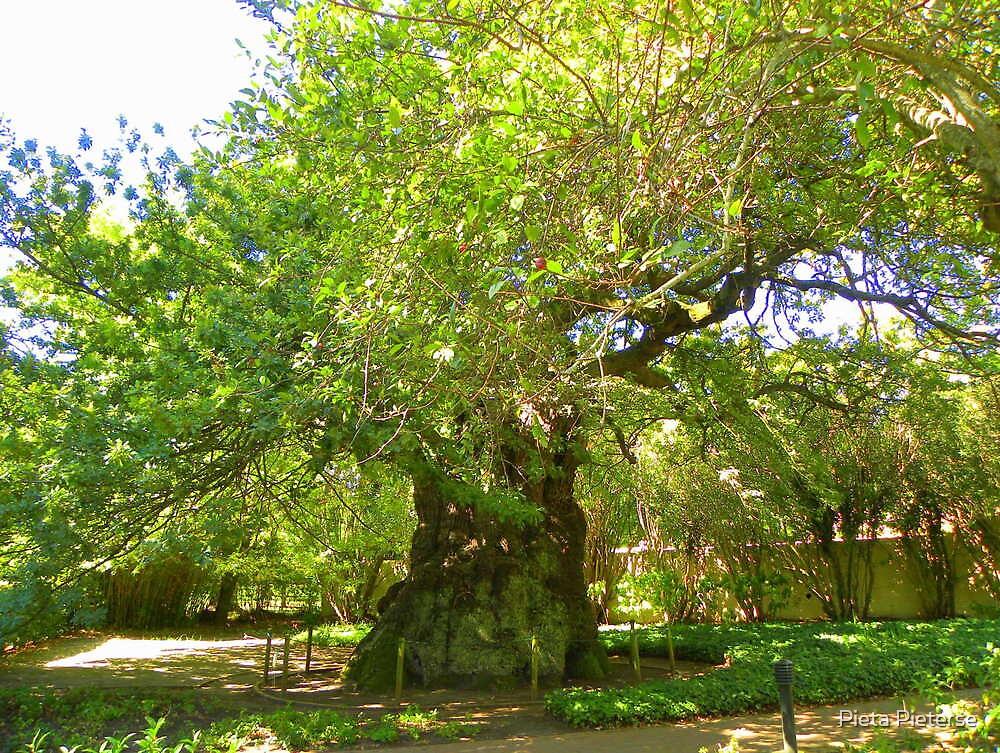 Oldest living oak in South Africa by Pieta Pieterse