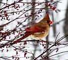 Female Cardinal  by Marcia Rubin
