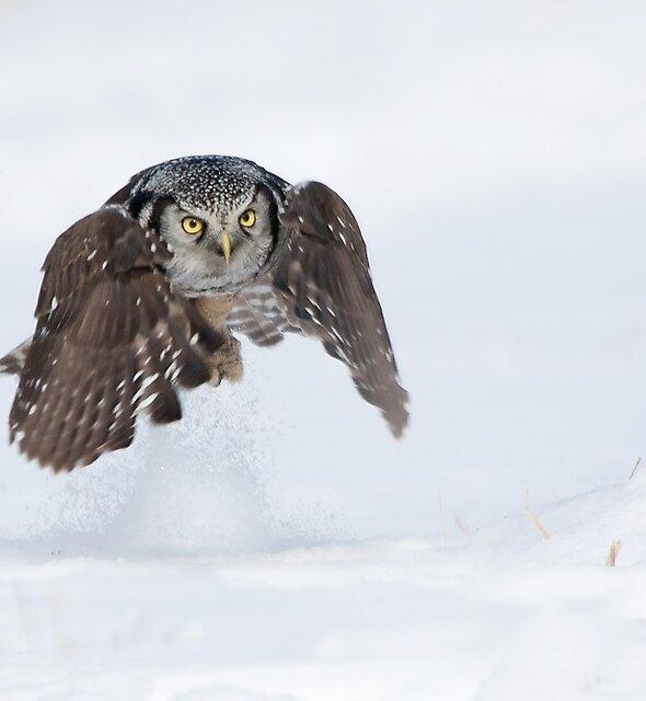 Northern Hawk-Owl. by Daniel Cadieux